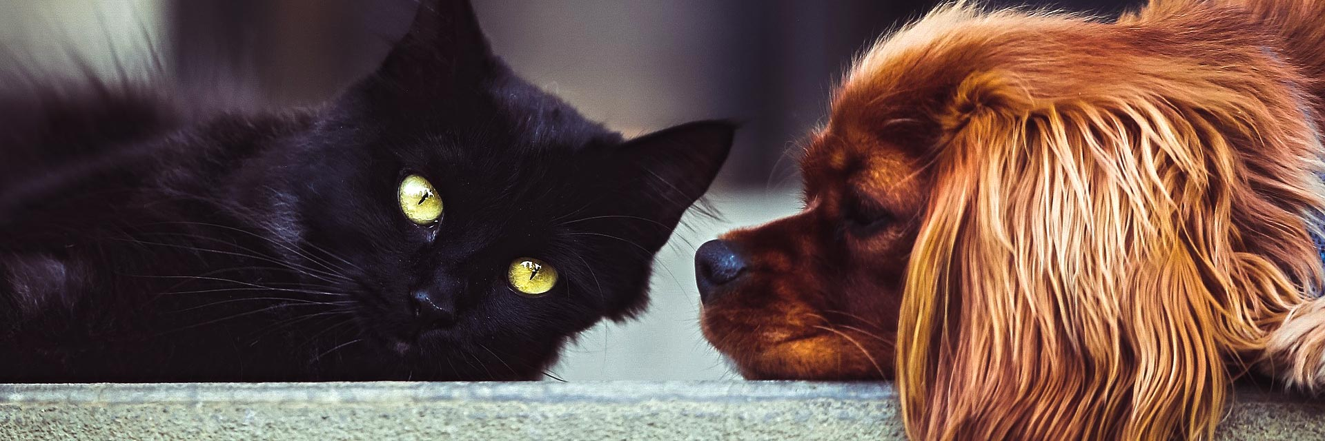black cat and cocker spaniel puppy
